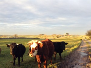 Pie Ride - Cows at Magpie Mine